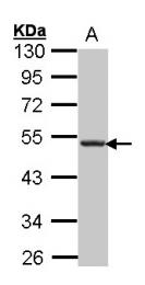 GTX100351 - CD185 / CXCR5