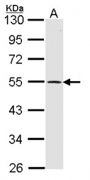 GTX100354 - Dopamine D1 receptor