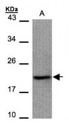 GTX100441 - IAP4 / BIRC5