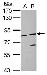 GTX100483 - ABP1