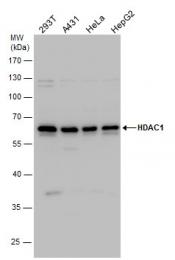 GTX100513 - HDAC1