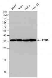 GTX100539 - PCNA
