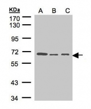 GTX100589 - Heparanase-2 / HPA2