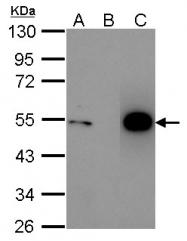 GTX100629 - TP53 / p53