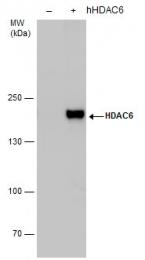 GTX100722 - HDAC6