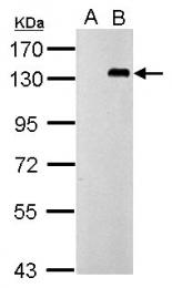 GTX100726 - CD289 / TLR9
