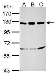 GTX100772 - NF-kB p105 / p50