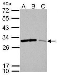 GTX100801 - 14-3-3 protein sigma / SFN