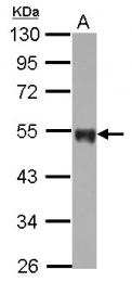 GTX100808 - CD142 / Tissue factor
