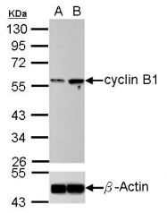 GTX100911 - Cyclin B1