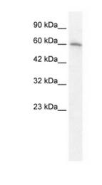 GTX10096 - Neuronal acetylcholine receptor subunit alpha-7