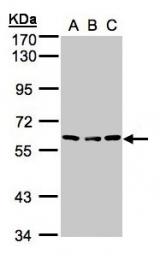 GTX100993 - Angiopoietin-4