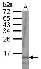 GTX101019 - GHRF / GHRH / Somatoliberin
