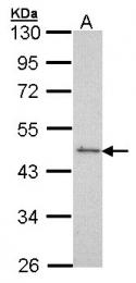 GTX101043 - Serum response factor (SRF)