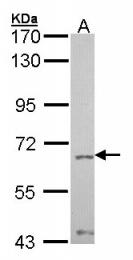 GTX101062 - PTPN11 / PTP2C