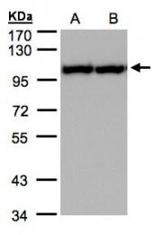 GTX101089 - TER ATPase / VCP