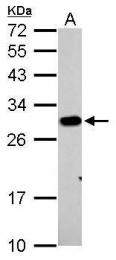 GTX101105 - Prohibitin / PHB