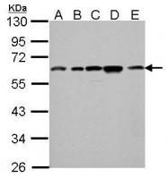 GTX101236 - Apolipoprotein J / Apo J