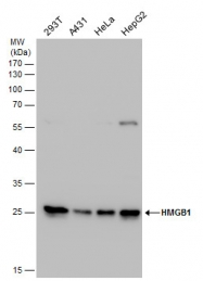 GTX101277 - HMGB1