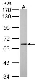 GTX101289 - Amine Oxidase A
