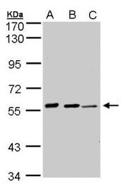 GTX101335 - Arylsulfatase E