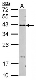 GTX101447 - CD40