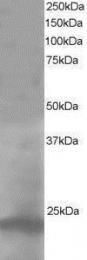 GTX10145 - Pallidin (PLDN)