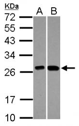 GTX101483 - ES1 protein homolog