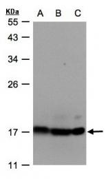 GTX101503 - ATP5D