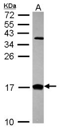 GTX101551 - CRABP2