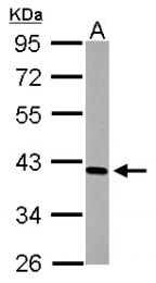GTX101563 - CD123 / IL3RA