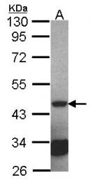 GTX101693 - Septin-2