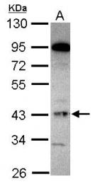 GTX101729 - G protein alpha Inhibitor 2