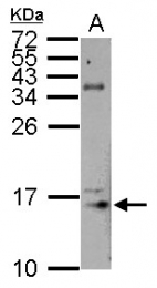 GTX101754 - Histone H3.3