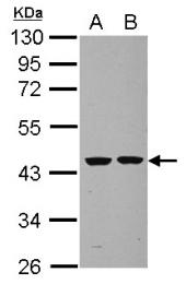 GTX101774 - Septin-2