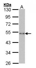 GTX101775 - CTBP1