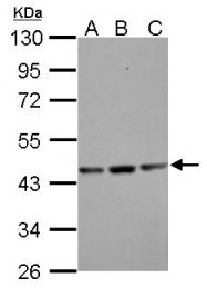 GTX101794 - Actin gamma / ACTG