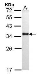 GTX101865 - HLA class II DR alpha / HLA-DRA