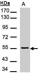 GTX101993 - Aspartyl aminopeptidase