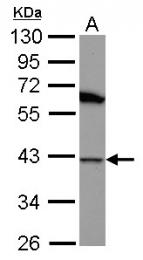 GTX102049 - DNAJB1 / HSP40