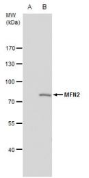 GTX102055 - Mitofusin-2