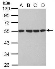 GTX102079 - alpha Tubulin / TUBA1B