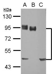 GTX102111 - CD44