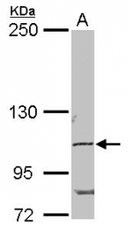 GTX102128 - POM121