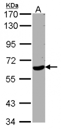 GTX102214 - WDR1 / NORI-1