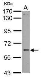 GTX102247 - WDR1 / NORI-1