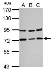GTX102262 - CD271 / NGFR