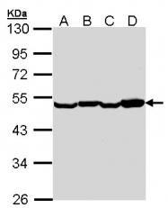 GTX102326 - EEF1A2
