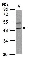 GTX102372 - TRAF1 / EBI6