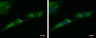 GTX102424 - Tyrosine 3-monooxygenase (TH)